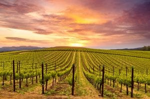 Photo of a Sprawling Sonoma Valley Vineyard at Dusk.